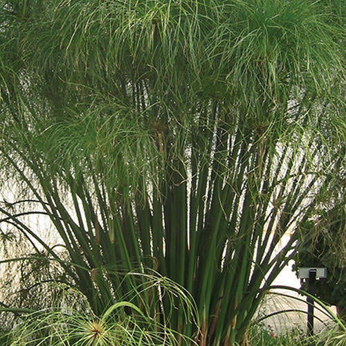Graceful Grass - Cyperus Papyrus - King Tut