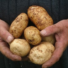 Seed Potato - Kennebec - Sold by the Pound