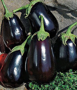 Black Beauty Eggplant  4 Cell Pack