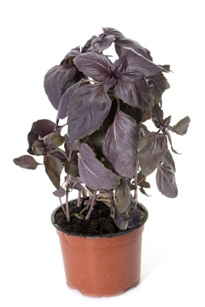 Red Rubin Basil