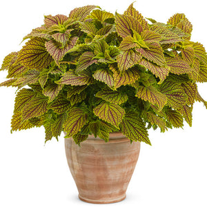 Coleus ColorBlaze Golden dreams