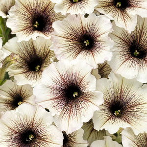 Petunia Supertunia - Latte