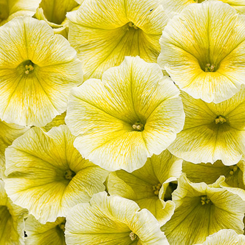 Petunia Supertunia - Limoncello