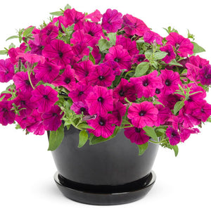Petunia Supertunia - Royal Magenta