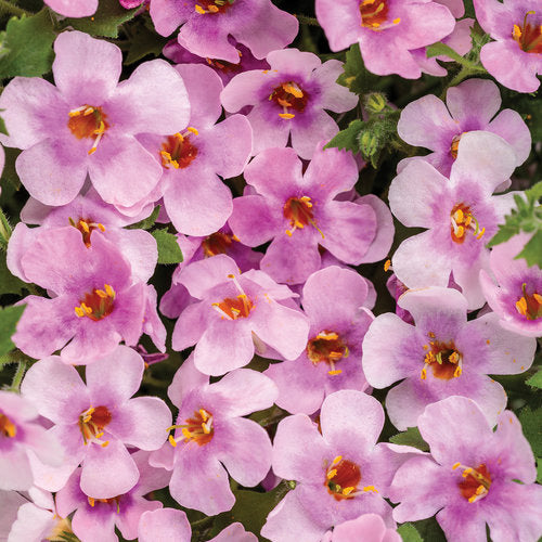 Bacopa - Snowstorm Pink