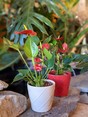 "Anthurium in 4"" Decorative Ceramic Pot"