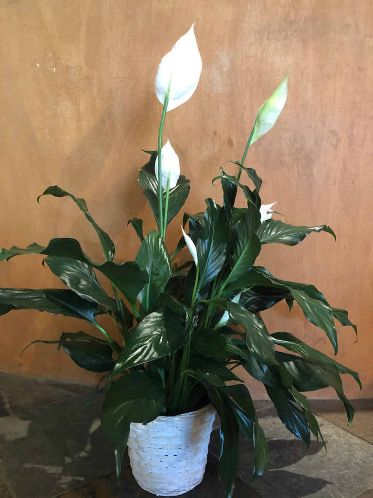 "6"" Peace Lily in Basket"