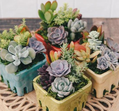 "5"" Succulent Mini Garden in Ceramic Berry Basket"