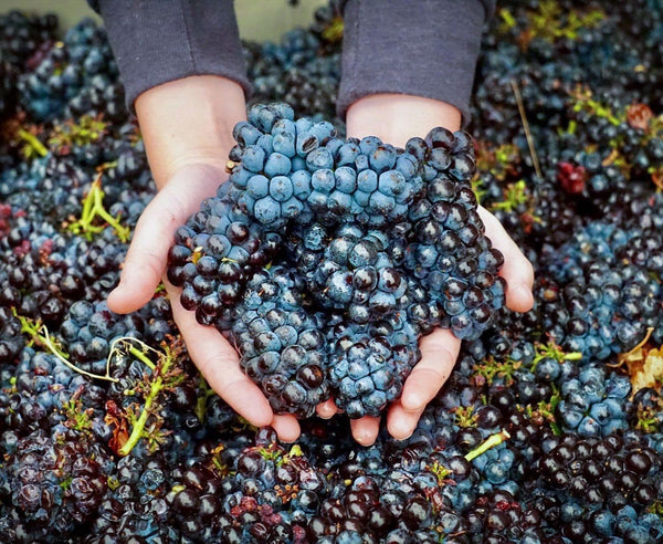 Ram's Gate Winery winemaker holding bunches of red grapes