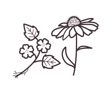 Marshmallow root and echinacea plant illustration