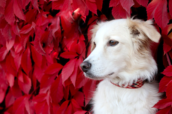 Dog Collar: Peruvian Red