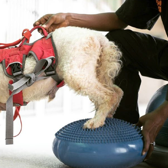 TALK on CANINE PHYSIOTHERAPY: Improving your Companions' Mobility, 29 Feb 2020