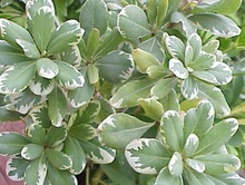 Load image into Gallery viewer, Variegated Japanese Pittosporum