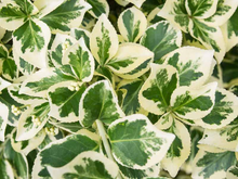 Load image into Gallery viewer, Variegated Radicans Euonymus