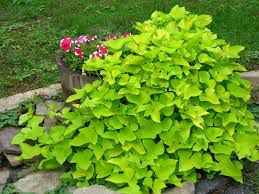Ipomea / Sweet Potato Vine