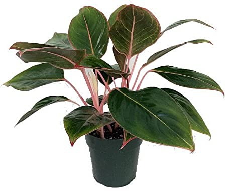 Aglaonema Susane