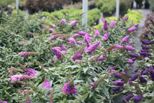 Load image into Gallery viewer, Butterfly Bush