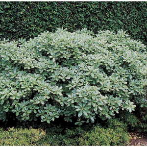 Variegated Japanese Pittosporum