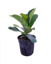 Load image into Gallery viewer, Ficus Lyrata Standard