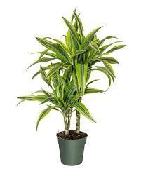 Dracaena Gold Star Warneckii Cane