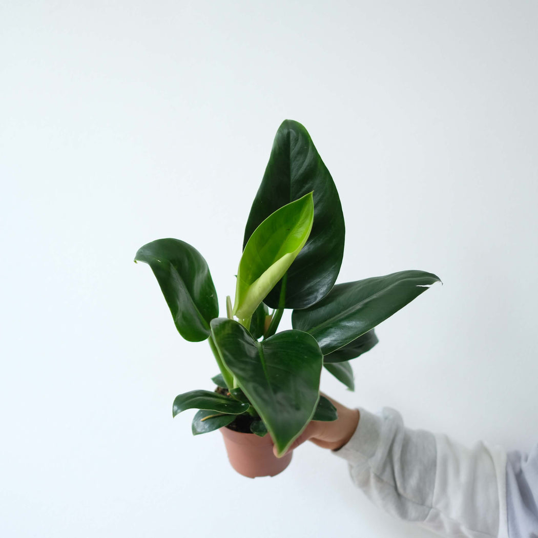 philodendron millions • filodendron