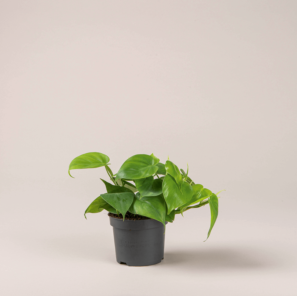 philodendron scandens ⌀ 12 cm • filodendron sercolistny