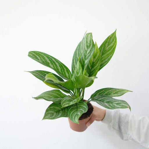 aglaonema silver stripes