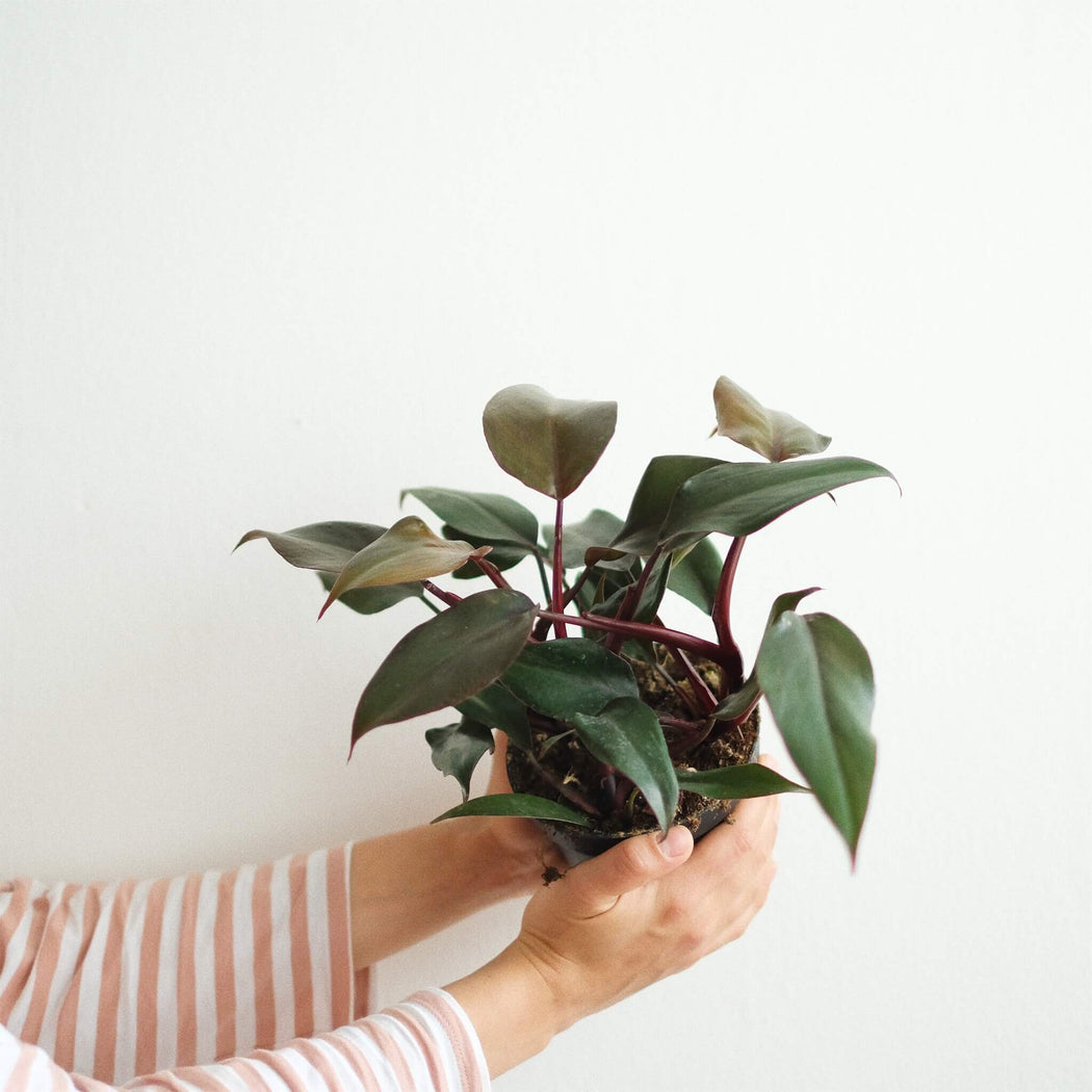 philodendron new red 'royal queen' • filodendron