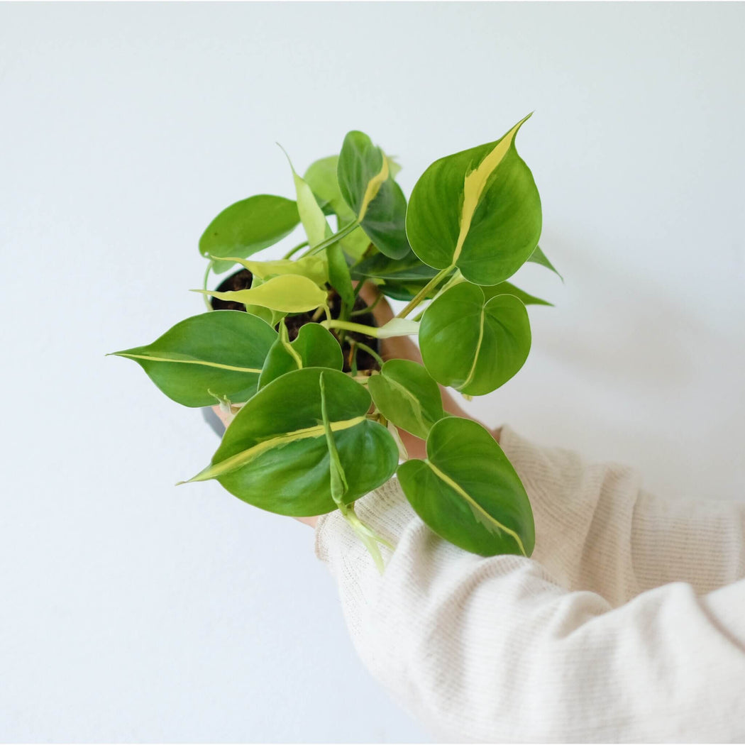 philodendron brasil ⌀ 12 cm • filodendron