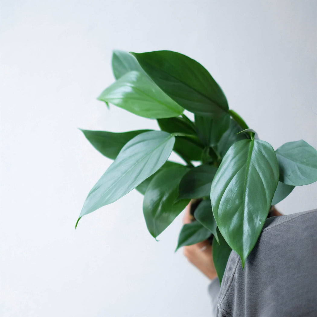 philodendron hastatum 'silver sword' • filodendron