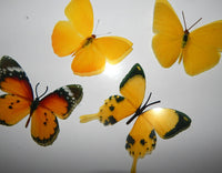yellow and orange butterflies collection