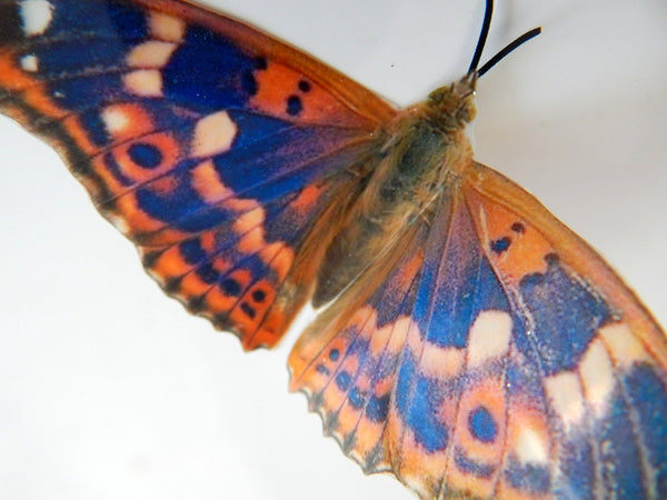 natural orange and blue butterfly