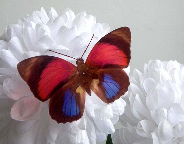 blue and red butterfly by flutterframes