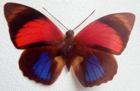 Red and Blue natural Butterfly 3d wall art in flight, reproduction butterflies, bathroom, conservatory,garden room,window,mirror,vase