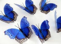Royal blue natural 3d butterfly stickers, Royal Blue Didcot, great for ceilings,walls, conservatories, butterfly wall art. Natural butterfly