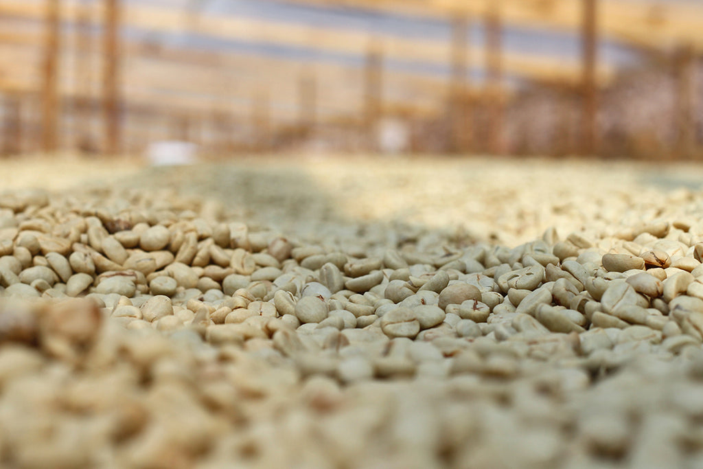 Katia Duke Honduras drying coffee
