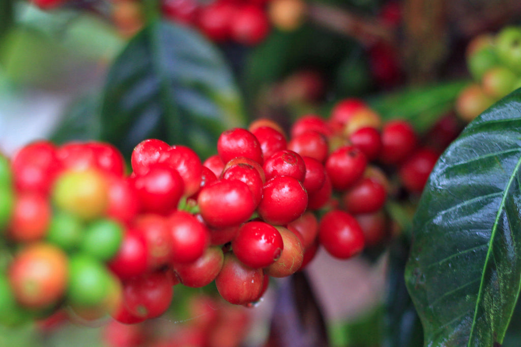 Katia Duke Honduras coffee