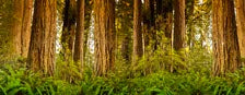 Giant trees and lush forest in the Humboldt Redwoods State Park California USA