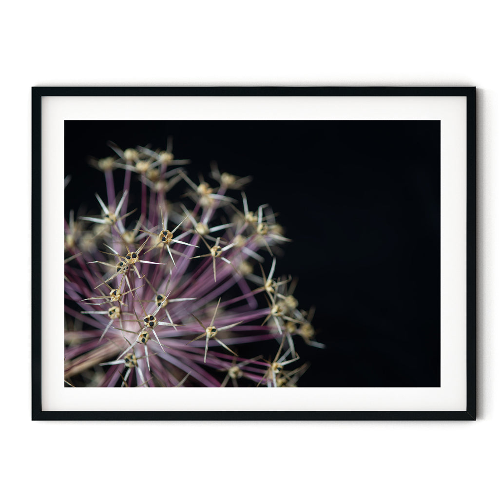 Alium Flower - Flower Photography | Flower Photo | Purple Flower | Macro Flower | Close Up