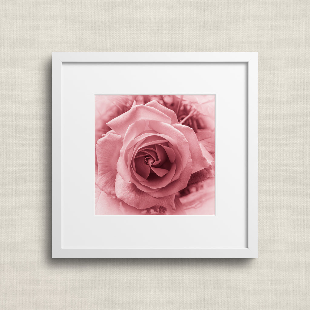 Pink Rose - Macro Flower Photography | Pink Wall Art | Flower Art