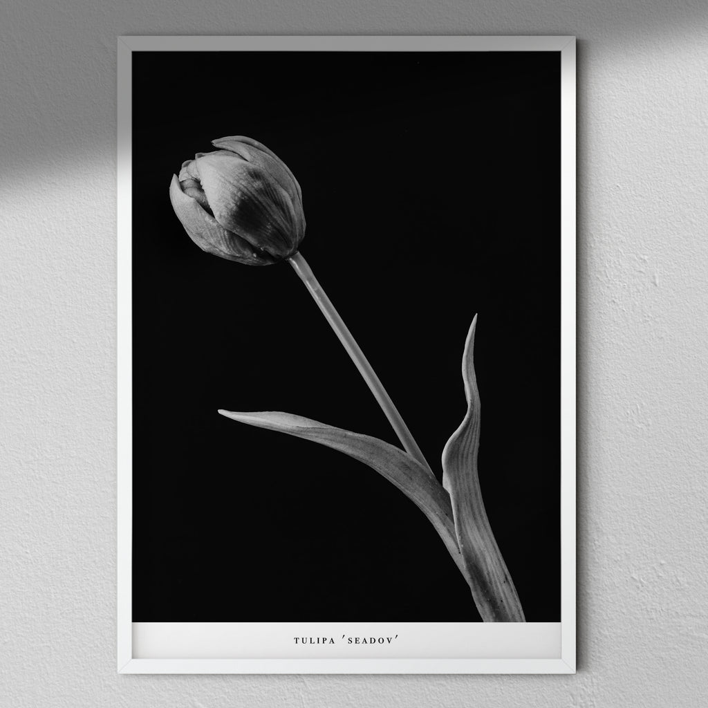 Tulipa 'Seadov' - Black & White Flower Collection | Macro Flower Photography