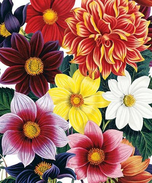 Card Dahlias