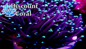Euphyllia Torch Coral Care