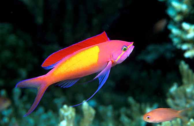 exotic Anthias Fish for Sale