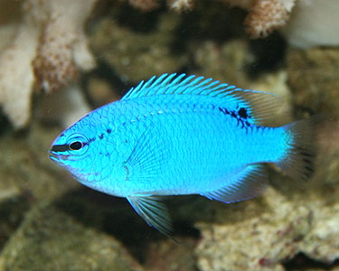 Blue Damsel Fish for Sale