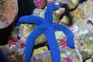 Blue Linckia Starfish for Sale