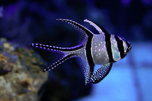 bang eye cardinalfish for sale