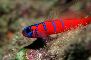Catalina Goby for Sale