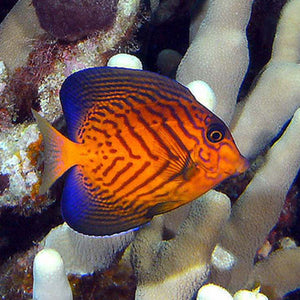Chevron Tang for Sale