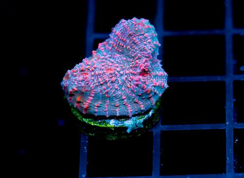 Cotton Candy Coral Frags